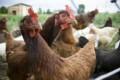 Menganalisa Bisnis Poultry
